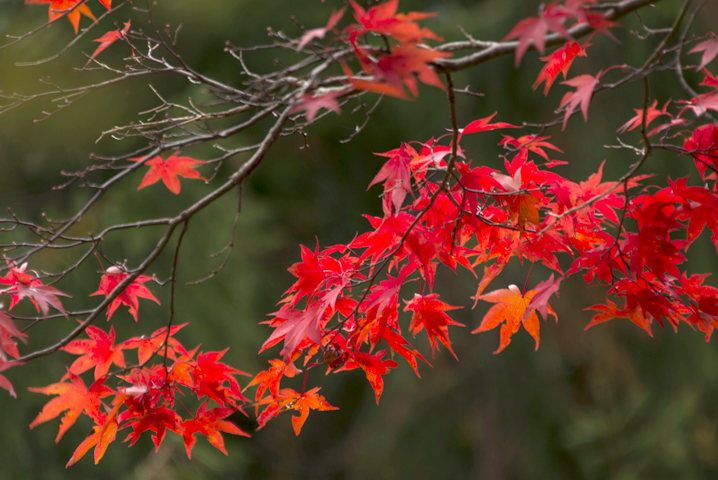 Autumn leaves, Kumano Kodo